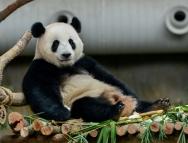 四川卧龙发现全球首例白色大熊猫,网友:一看就是不熬夜的好宝宝